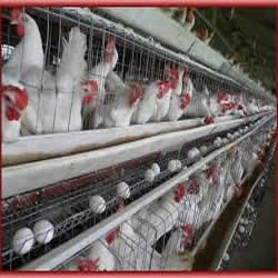 Poultry Farm Management